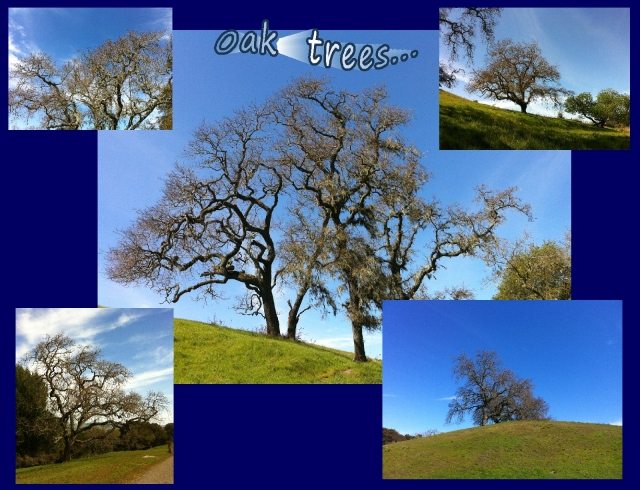 A good day for a walk...amazing oak trees