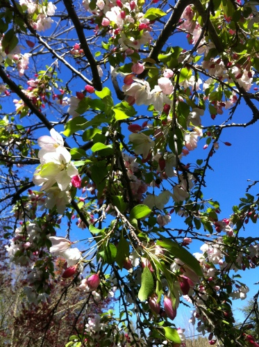 apple blossoms full bloom