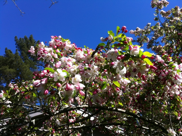 apple blossoms blooming