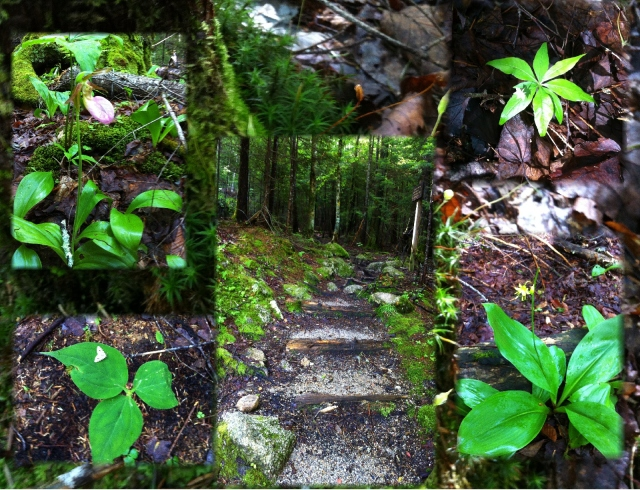a walk in the New Hampshire woods...wild flowers