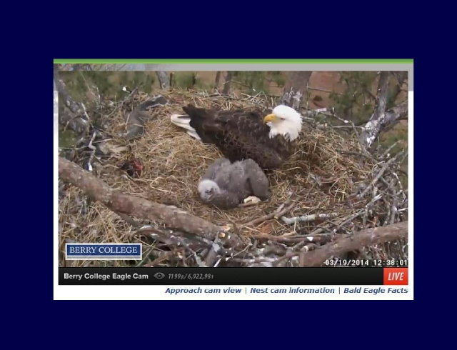 berry college eagle cam single