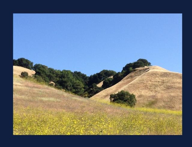 Briones Regional Park mustard hills